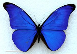 Blau irisierende Farben der Morphofalter