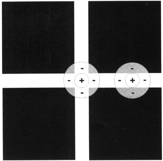 Rezeptive Felder (RF) beim Hermann-Gitter
