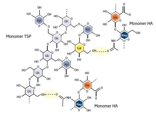 Die synergistische Wirkung der HA-Acetyl-Gruppen und der TSP-Glucose- (Glc) und -Galaktose- (Gal) -Einheiten