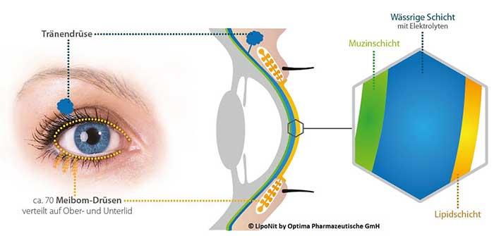 Der Tränenfilm, der klassisch in drei Phasen eingeteilt wird (Lipidphase, wässrige Phase und Muzinphase) hat die Aufgabe, die Augenoberfläche zu schützen